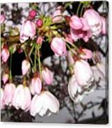 Vancouver Cherry Blossoms Canvas Print