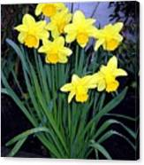 Vancouver Daffodils Canvas Print