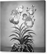 Vanda Orchids In Black And White Canvas Print