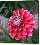 Variegated Colored Dahlia Canvas Print