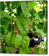 Vegetable Growing In Used Water Bottle 10 Canvas Print