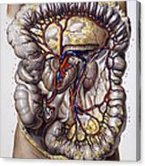 Veins And Arteries, 19th Century Canvas Print
