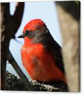 Vermilion Flycatcher Canvas Print