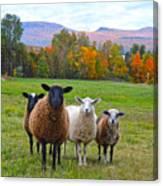 Vermont Sheep In Autumn Canvas Print