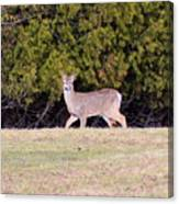 Vermont White-tailed Deer  Canvas Print