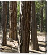Vertical Of A Stand Of Ponderosa Pine Canvas Print