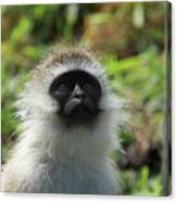Vervet Monkey Canvas Print