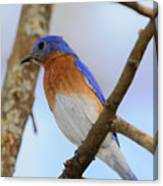 Very Bright Young Eastern Bluebird Perched On A Branch Colorful Canvas Print