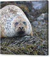 Very Chubby Harbor Seal Canvas Print