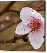 Very Early Peach Blooms Canvas Print