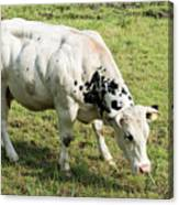 Very Muscled Cow In Green Field Canvas Print