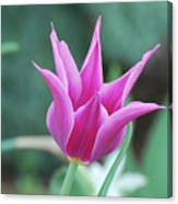 Very Pretty Blooming Pink Spikey Tulip Flower Blossom Canvas Print