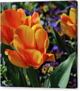 Very Pretty Colorful Yellow And Red Striped Tulip Canvas Print