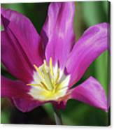 Very Pretty Dark Pink Blooming Tulip With Yellow In The Center Canvas Print