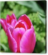 Very Pretty Dark Pink Tulip Flower Blossom Canvas Print