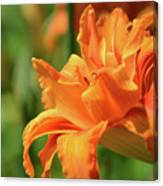 Very Pretty Double Orange Daylily Flowering In A Garden Canvas Print