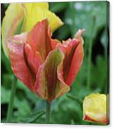 Very Pretty Flowering Pink And Green Striped Tulip Canvas Print