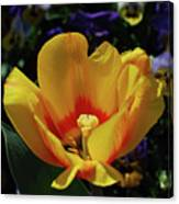 Very Pretty Flowering Yellow Tulip With A Red Center Canvas Print
