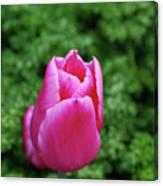 Very Pretty Garden With A Dark Pink Tulip Canvas Print