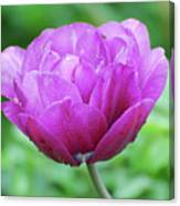 Very Pretty Lavender And Pink Tulip Blossom Flowering Canvas Print