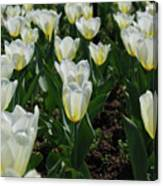 Very Pretty Spring Garden With Flowering White Tulips Canvas Print