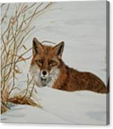 Vexed Vixen - Red Fox Canvas Print