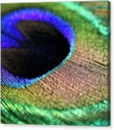 Vibrant Colours Of A Peacock Feather Canvas Print
