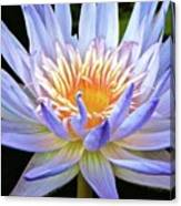 Vibrant White Water Lily Canvas Print