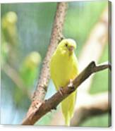 Vibrant Yellow Budgie Parakeet In The Summer Canvas Print