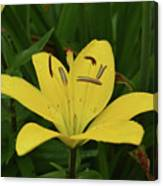 Vibrant Yellow Lily Thriving In The Spring Canvas Print