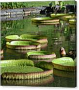 Victoria Amazonica Giant Lily Pads  Canvas Print