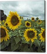 View Of A Field Of Sunflowers Canvas Print