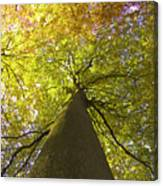 View To The Top Of Beech Tree Canvas Print