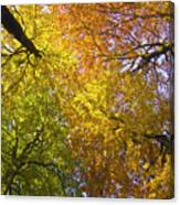 View To The Top Of Beech Trees Canvas Print