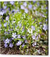 Vinca Violet Purple Clump Canvas Print