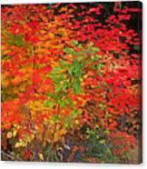 Vine Maple In Oregon Canvas Print