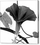 Vine Offering B And W Canvas Print