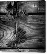 Vine On Barn Canvas Print