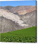 Vineyards In The Atacama Desert Chile Canvas Print