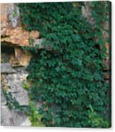Vines On The Rocks Canvas Print