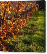 Vineyard 13 Canvas Print
