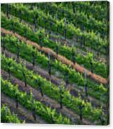 Vineyard Rows - Slovenia Canvas Print