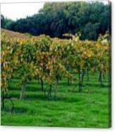 Vineyards In California Canvas Print