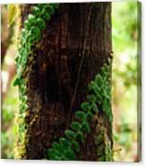 Vining Fern On Sierra Palm Tree Canvas Print