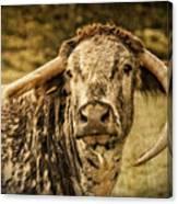 Vintage Longhorn Cattle Canvas Print