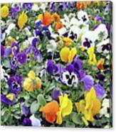 Viola In The Spring Are Especially Beautiful. Canvas Print
