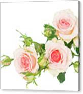 Garden Roses And Buds Canvas Print