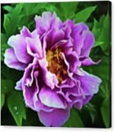 Violet Peony Canvas Print