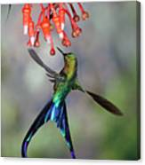 Violet-tailed Sylph Feeding Canvas Print