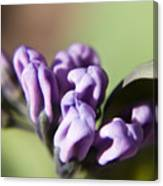 Virginia Bluebell Buds Canvas Print